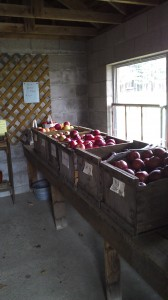 Apples at Musterfield farm